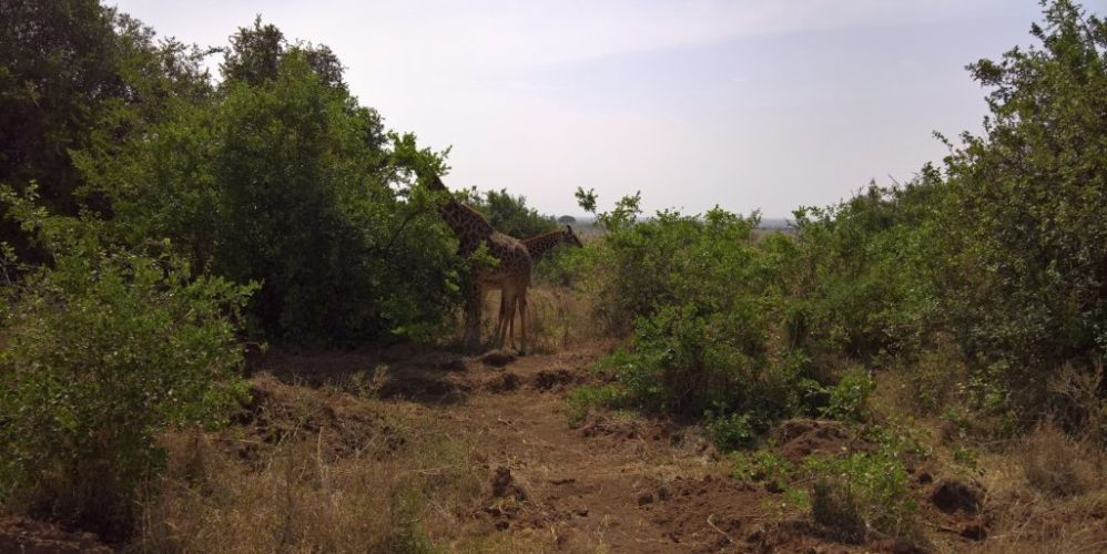 20170222 (55) Nairobi Park - Giraffes NJ